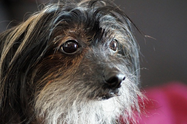 Dog, Chinese, Crested, Hairless Dog, Home, Pet