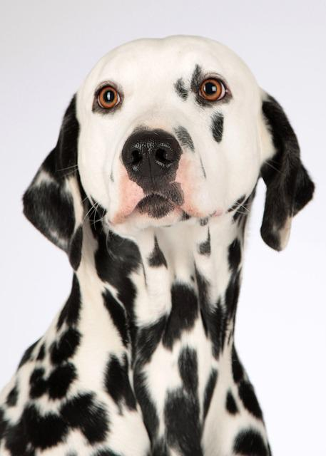 Dog, Dalmatians, Animal Portrait, Dog Head, Dog Breed