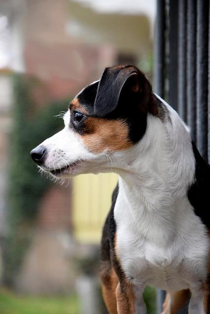 Dog, Railing, Jack Russel Terrier, Head, Portrait