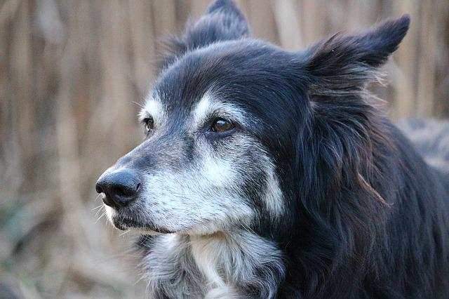 Dog, Border Collie, Herding Dog, British Sheepdog