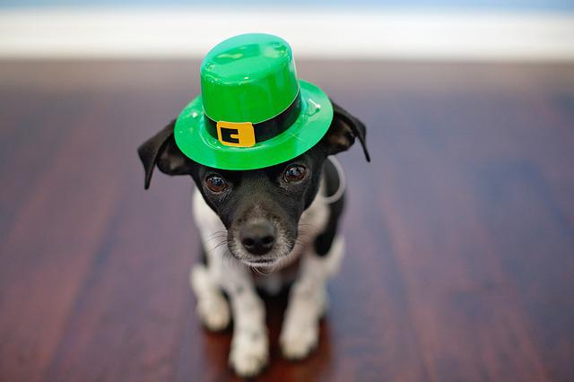 Chihuahua, Dog, St Patrick's Day, Cute, Humor, Puppy