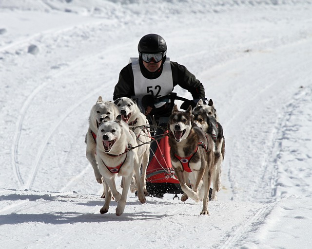 Huskies, Dog, Animal, Snow Dog, Blue Eyes, Race