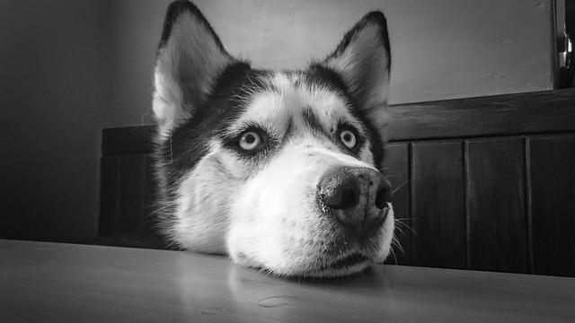 Siberian Husky, Husky, Dog