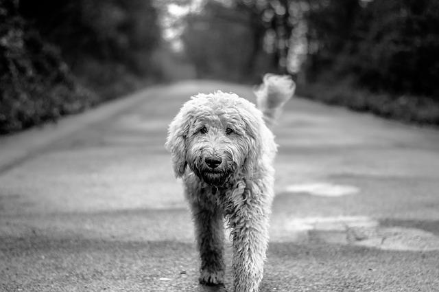 Dog, Goldendoodle, Road, Wildlife Photography, Hybrid