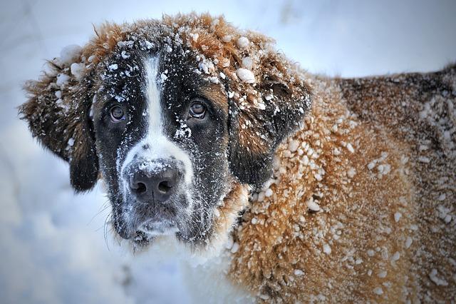 Dog In The Snow, Snow Dog, St Bernard, Dog, Winter