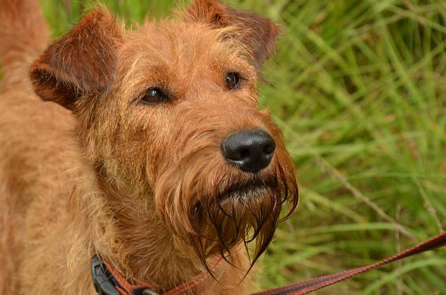 Dog, Irish, Terrier, Irish Terrier
