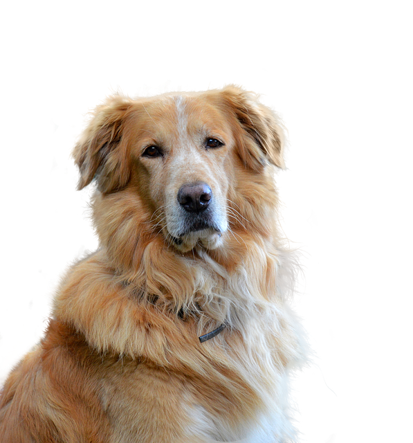 Golden Retriever, Isolated, Dog, Hundeportrait, Pet