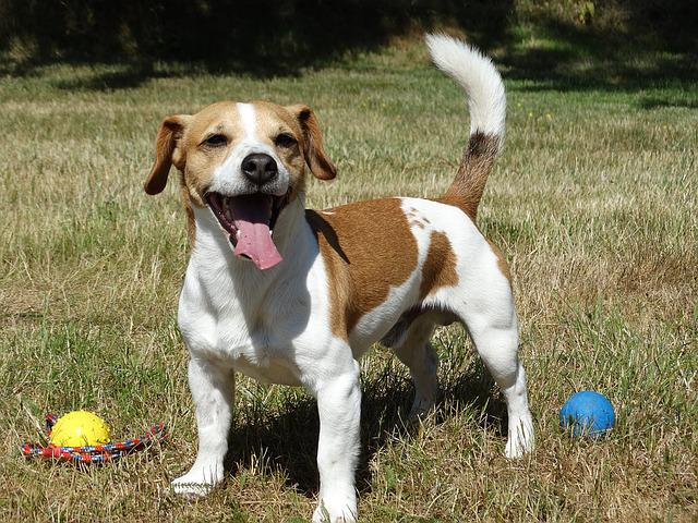 Jack Russell, Dog, Terrier