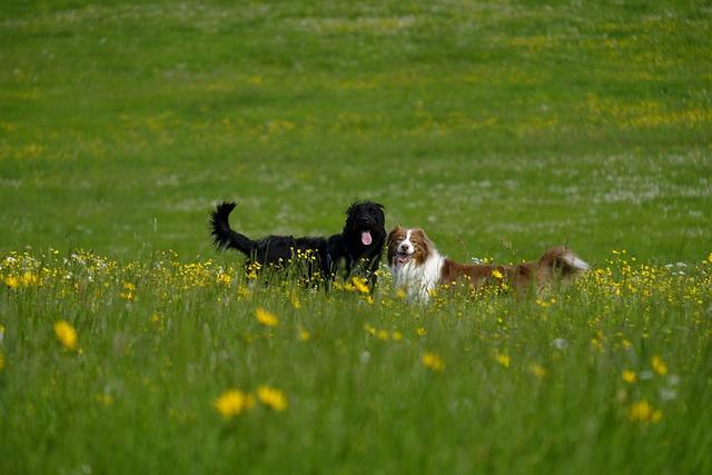 Dog, Labradoodle, Labrador, Poodle, King Poodle, Hybrid