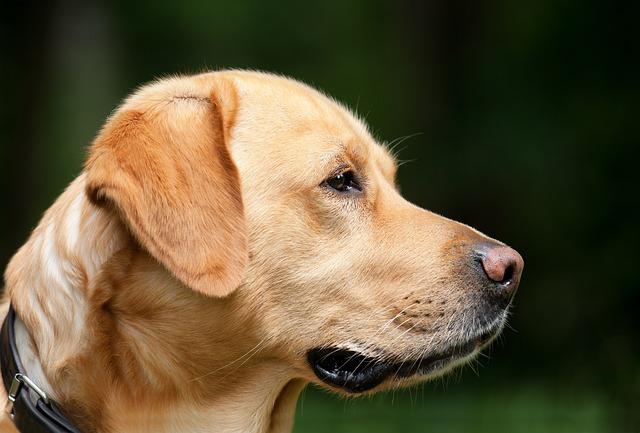 Dog, Labrador, Light Brown, Pet, Dog Head, Profile