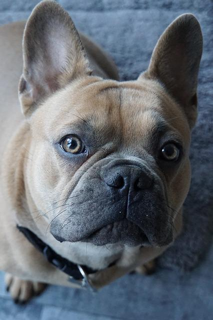 Dog, Dog Head, Animal Portrait, Dog Look, Purebred Dog