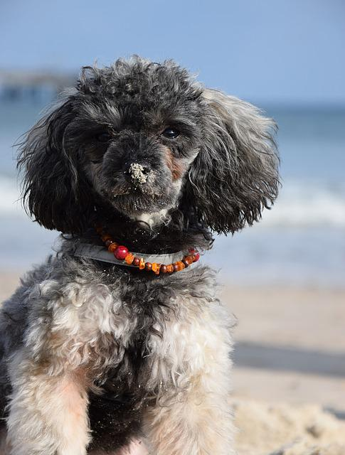 Beach, Sea, Water, Miniature Poodle, Poodle, Dog, Puppy
