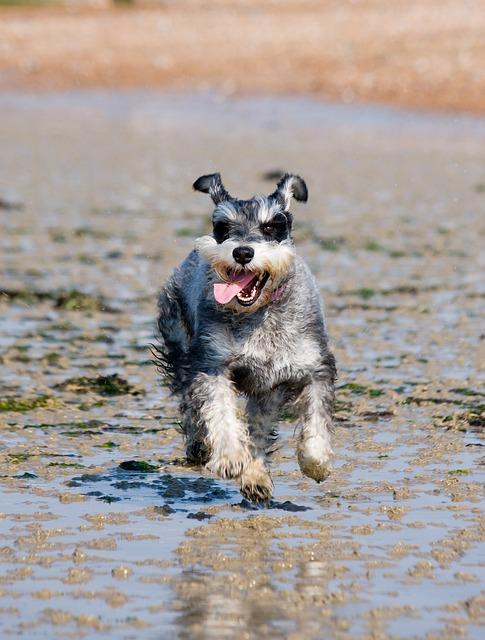 Schnauzer, Miniature Schnauzer, Dog, Running, Happy