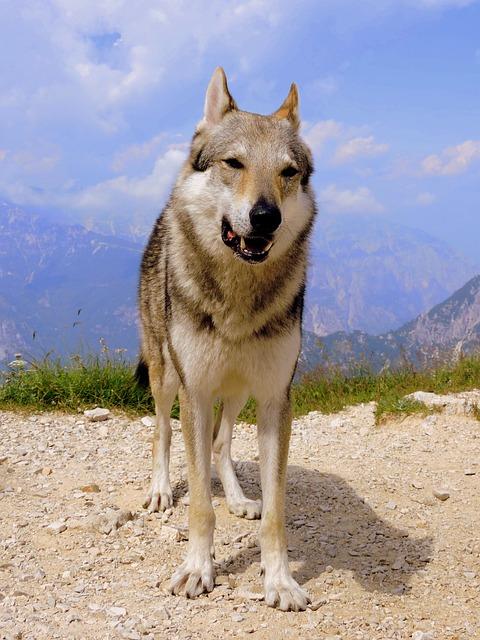 Dog, Mountain, Wolf, Landscape