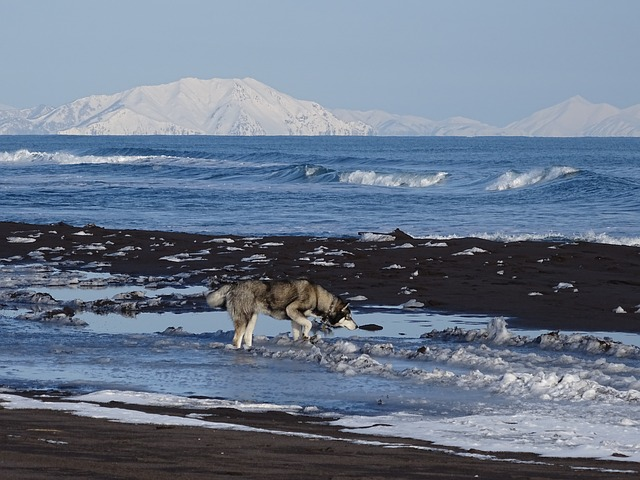 The Pacific Ocean, Dog, Husky, Wave, Mountains, Beach