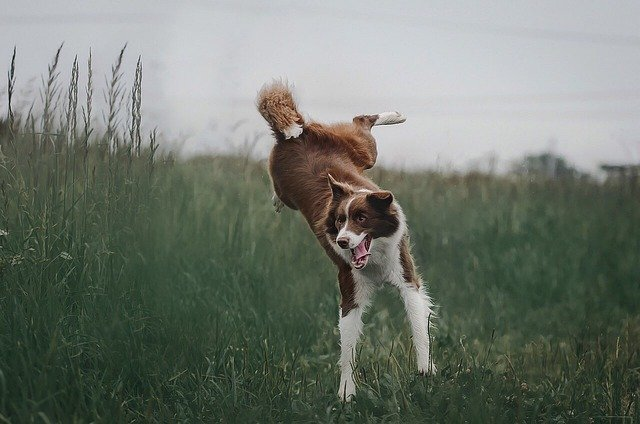 Dog, Jump, Grass, Border Collie, Nature, Jumping