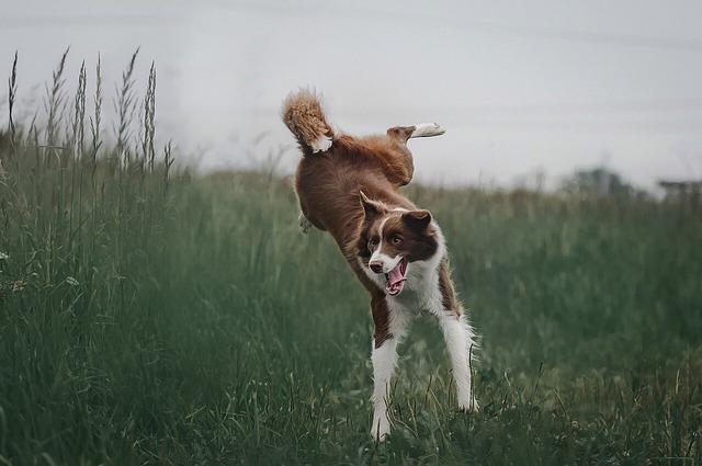 Dog, Jump, Grass, Border Collie, Nature, Jumping