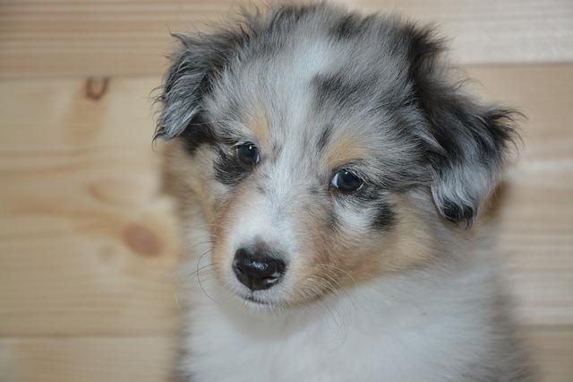 Dog, Pup, Puppy, Dog Onyx, Shetland Sheepdog