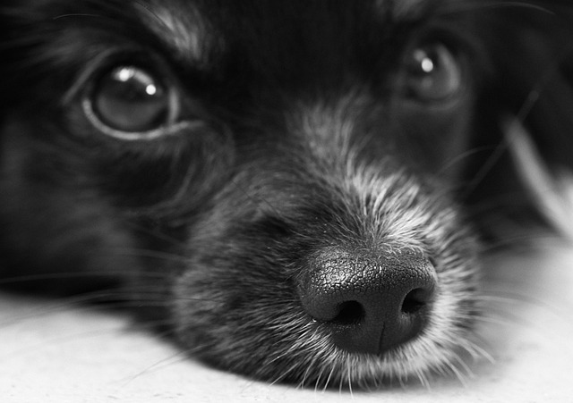 Dog, Puppy, Papillon, Eyes, Snout, Nose, Hair, Face