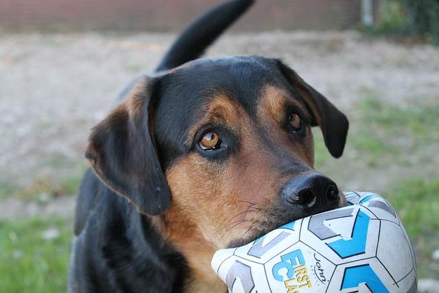 Dog, Asking, Ball, Cute, Pathetic, Modderbloed