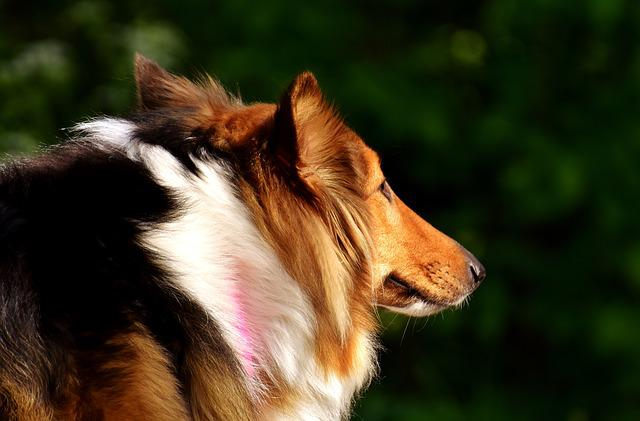 Collie, Dog, Pet, Animal, Go For A Walk, Purebred Dog