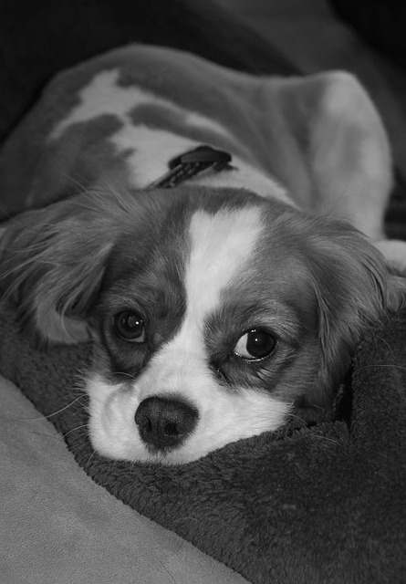 Simple Cavalier Canine Adorable Dog - Dog-Pet-Cute-Adorable-Puppy-Canine-Funny-Animal-1347032  Pictures_568060  .jpg