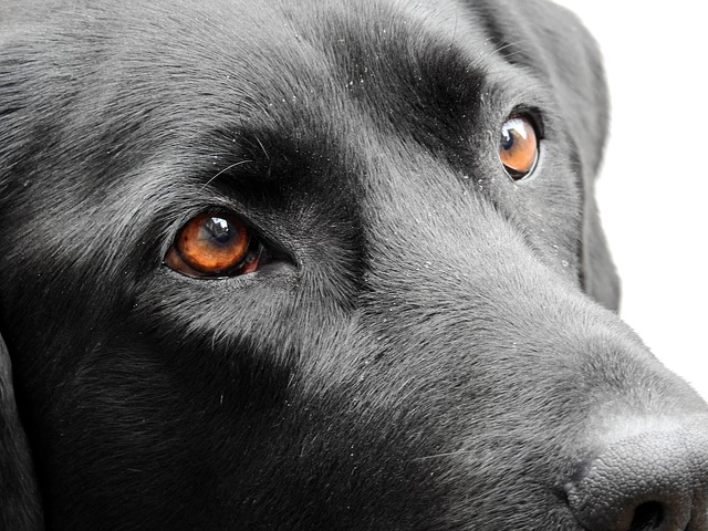 Dog, Eyes, Animal, Pet, View, Labrador, Friend, Good