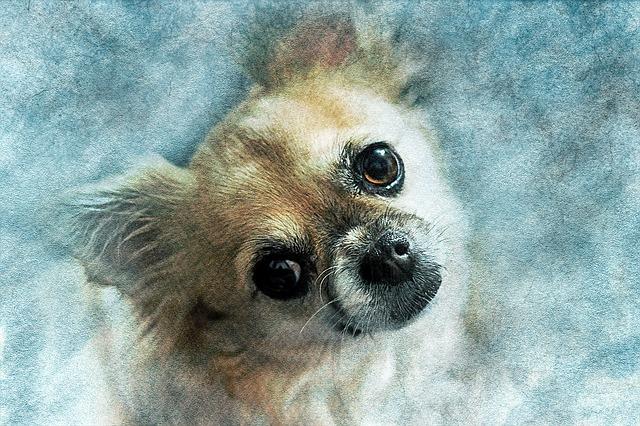 Dog, Chihuahua, Pet, Art, Nature, Abstract, Watercolor