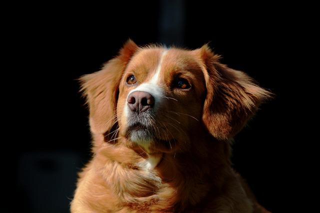 Nova Scotia Duck Tolling Retriever, Dog, Pet, Retriever