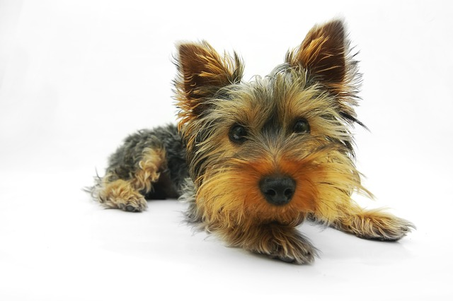 Yorkshire Terrier, Dog, Terrier, Pet, Portrait