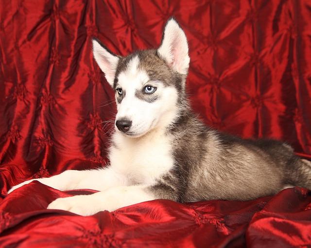 Dog, Husky, Puppy, Cute, Pet, Siberian, Canine
