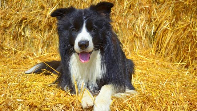 Dog, Border, British Sheepdog, Pet, Purebred Dog