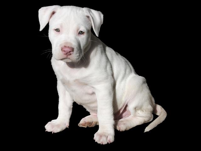 Cute, White, Puppy, Dog, Pit Bull, Pitbull