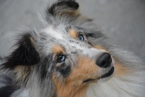 Dog Portrait, Bitch, Eyes, Blue Eyes Brown