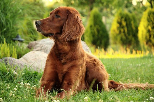 Dog, Portrait, Irish Setter