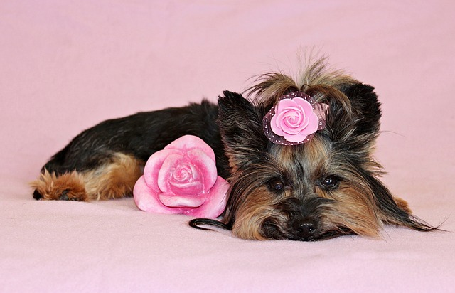 Yorkshire Terrier, Dog, Pretty, Nice, Pink