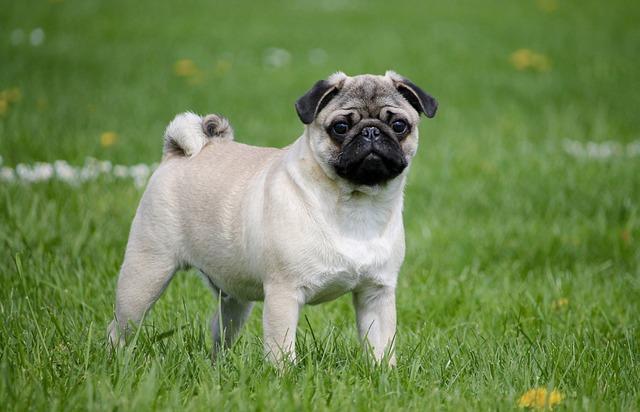Pug, Meadow, Dog