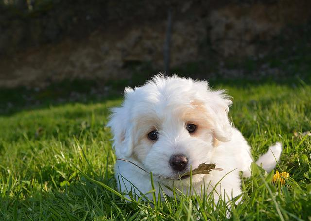 Dog, Puppy, Animal, Petit, White Fur, Cotton Tulear