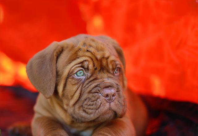 Puppy, Dogue De Bordeaux, Dog