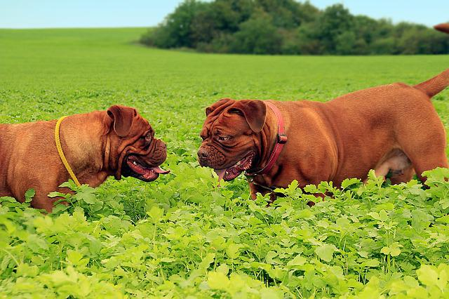 Dog, Big Dog, Puppy, Puppyes, Dogue De Bordeaux