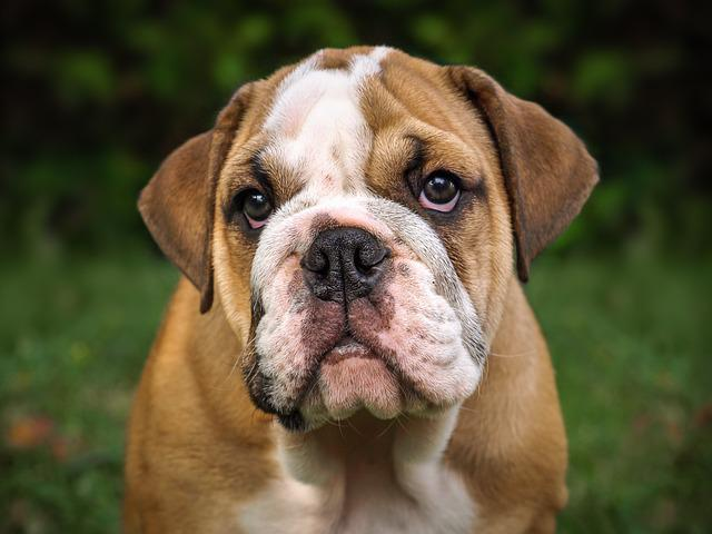 English Bulldog, Dog, Mammal, Cute, Portrait, Puppy