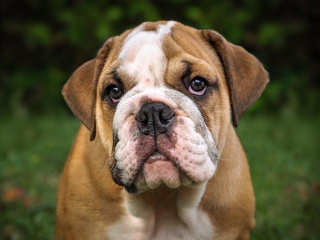 English Bulldog, Dog, Mammal, Cute, Portrait, Puppy