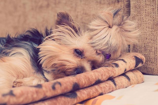 Yorkie, Yorkshire Terrier, Dog, Puppy, Cute, Sleeping