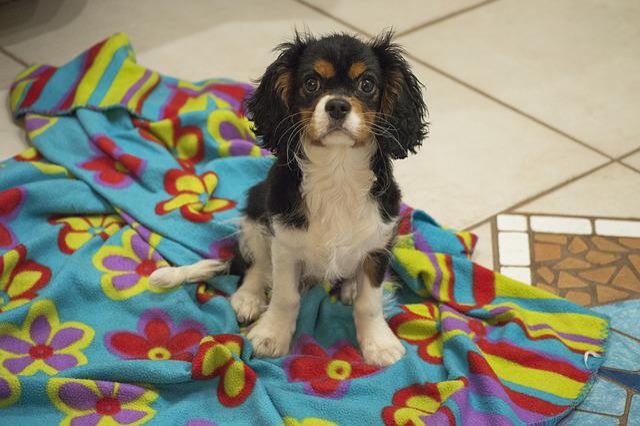 Dog, Cavalier, Puppy, Charles, Spaniel, Dogs, Pet