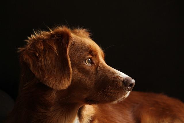Dog, Toller, Pet, Retriever