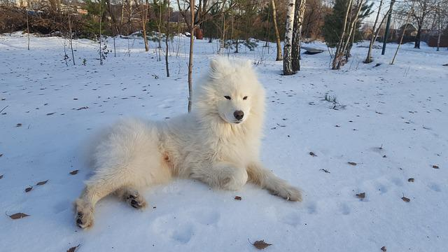 Samoyed, Winter, Dog