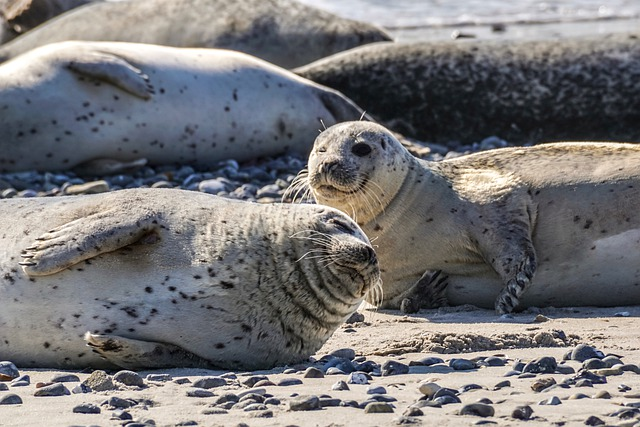 Seal, Robbe, Dog Seal, Nature, North Sea, Water