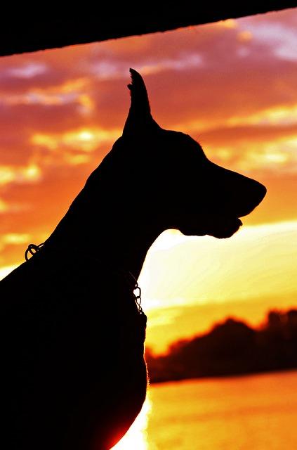 Doberman, Silhouette, Sunrise, Dog