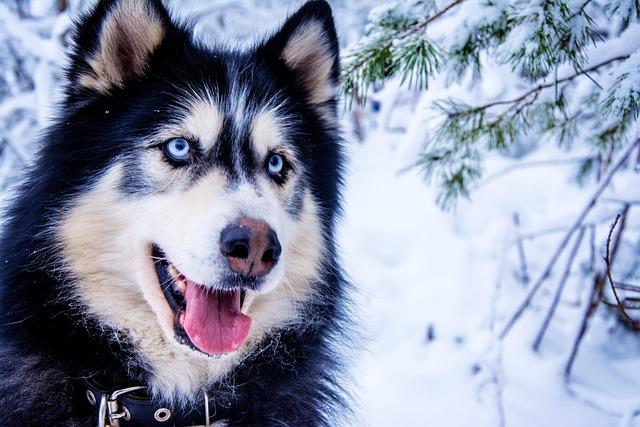 Husky, Snow Dog, Sled Dog, Animal, Fur, Dog, Blue Eye