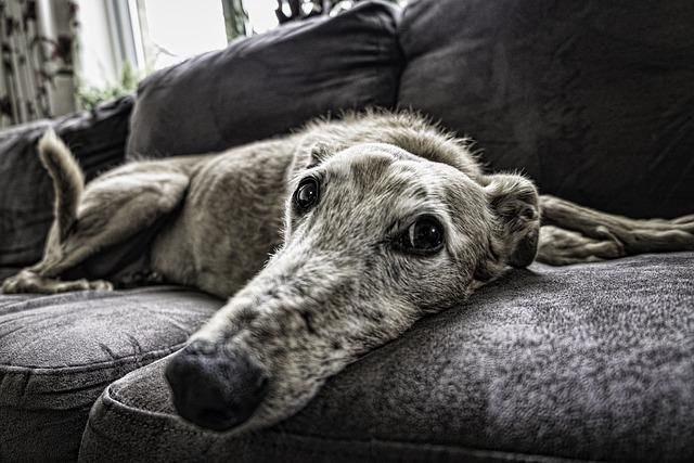 Dog, Sofa, Rest, Pet, Home, Animal, Room, Lifestyle